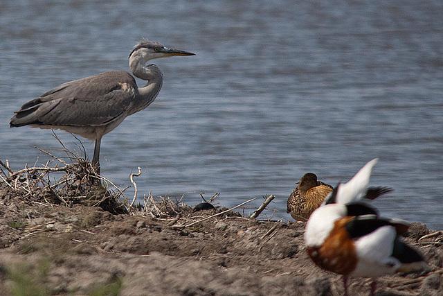 20110530 4453RTw [F] Graureiher, Brandgans, Ente, Parc Ornithologique [Camargue]