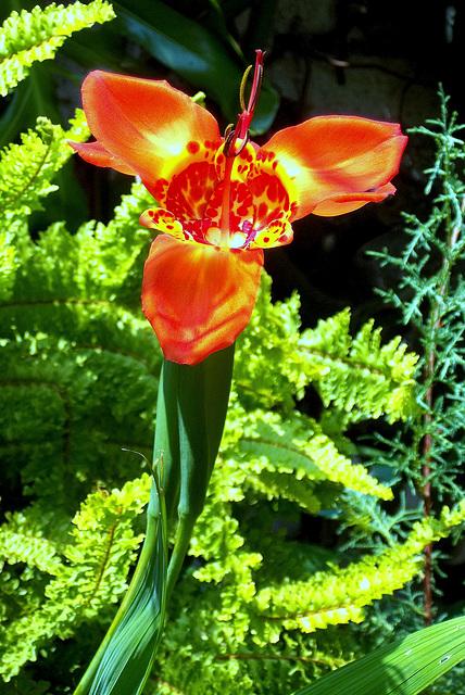 Oceloxóchitl. Flor de un día.