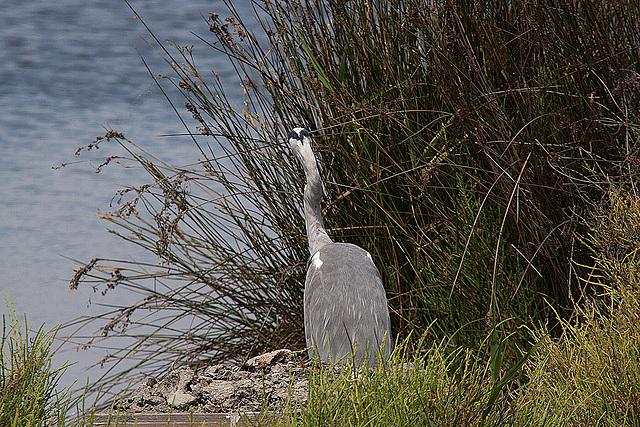 20110530 4446RTw [F] Graureiher, Parc Ornithologique [Camargue]