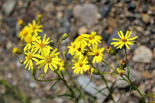 Senecio capensis (2)