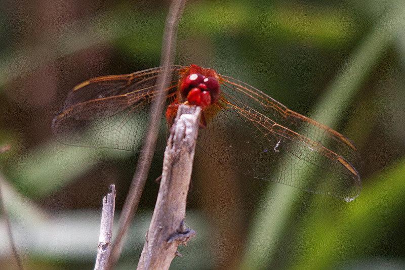 20110530 4438RTw [F] Libelle, Parc Ornithologique [Camargue]