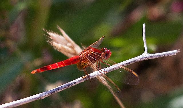 20110530 4437RTfw Libelle [Camargue]