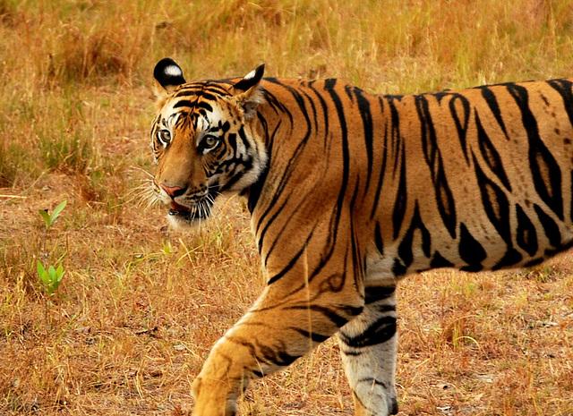 India. Wild tiger. Tigre sauvage