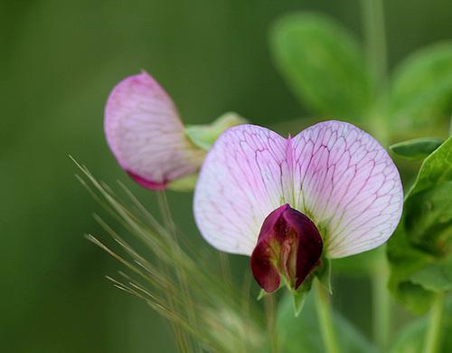 Pisum sativum- Pois des champs- ssp arvense
