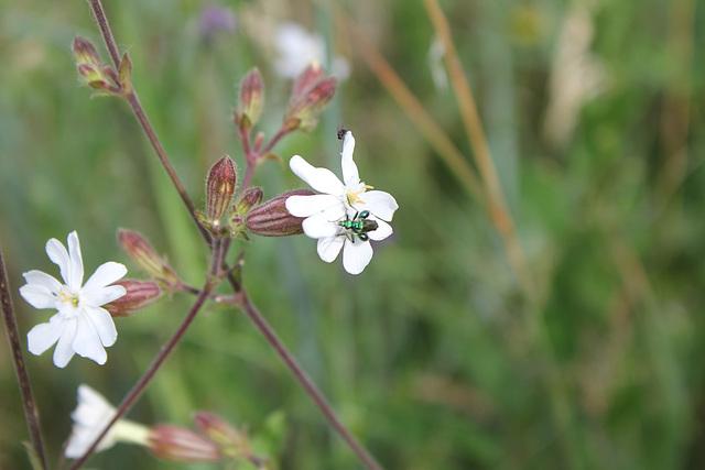 Silene latifolia - Compagnie blanc
