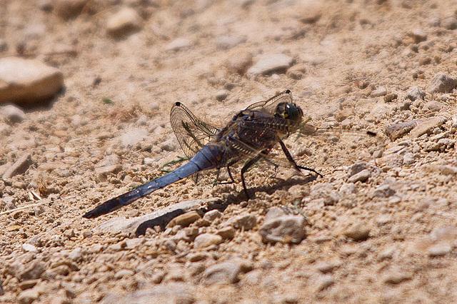 20110530 4427RTw [F] Großer Blaupfeil (Orthetrum cancellatum), Libelle, Parc Ornithologique [Camargue]