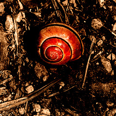 L'escargot rouge