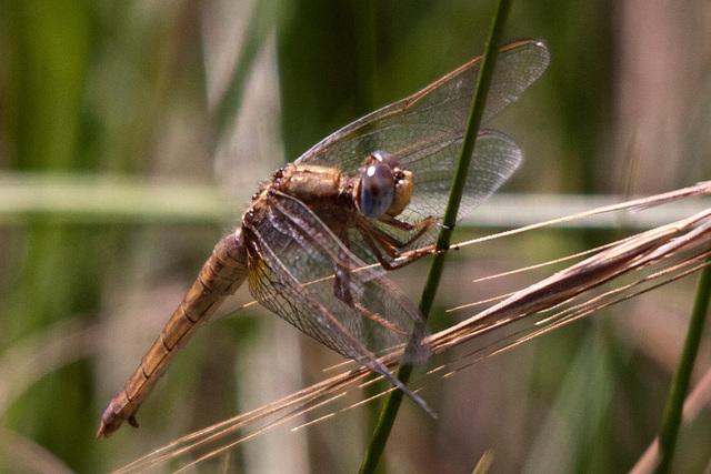20110530 4421RTfw Libelle [Camargue]