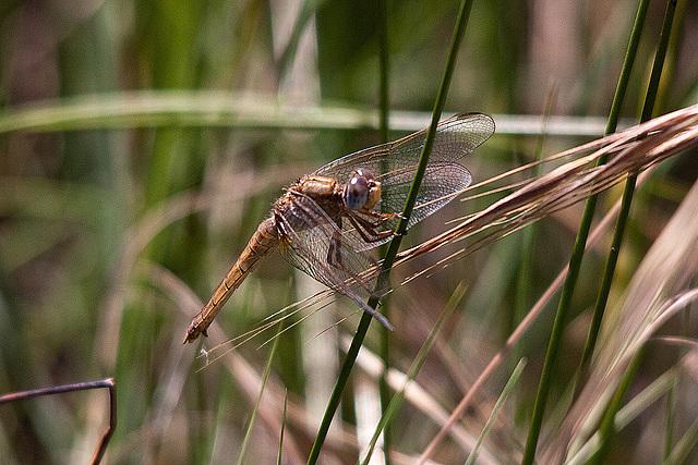 20110530 4420RTw [F] Libelle, Parc Ornithologique [Camargue]