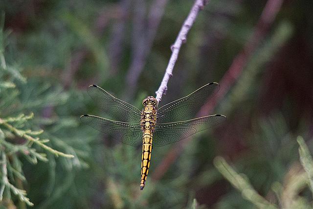 20110530 4414RTw [F] Libelle, Parc Ornithologique [Camargue]