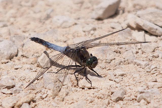 20110530 4410RTfw Libelle [Camargue]