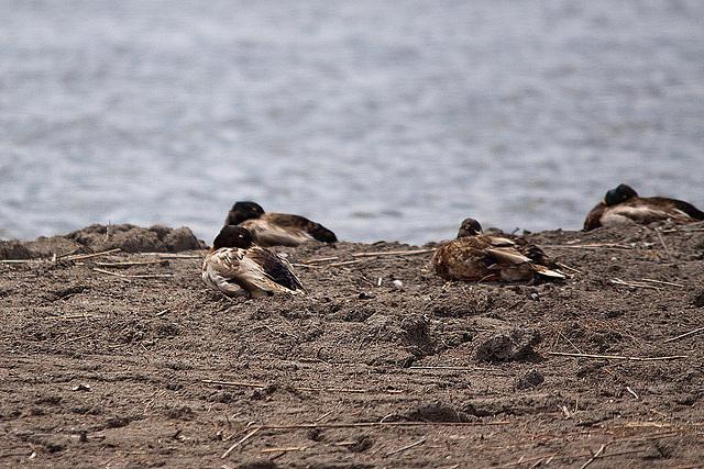 20110530 4409RTw [F] Ente, Parc Ornithologique [Camargue]