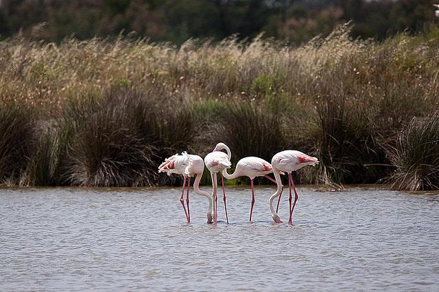 20110530 4408RTw [F] Rosaflamingo, Parc Ornithologique [Camargue]