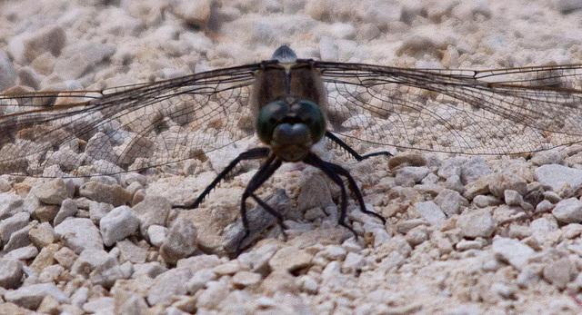 20110530 4402RTw [F] Großer Blaupfeil (Orthetrum cancellatum), Libelle, Parc Ornithologique [Camargue]