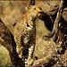 Léopard de Namibie