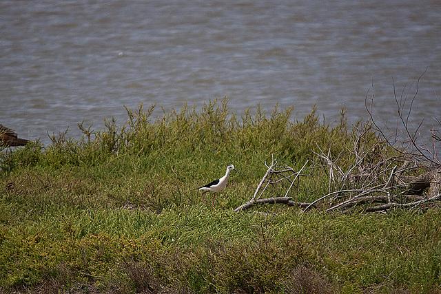 20110530 4394RTw [F] Stelzenläufer (Himantopus himantopus), Parc Ornithologique, [Camargue]