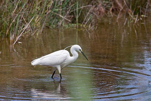 20110530 4383RTw [F] Seidenreiher, Parc Ornithologique [Camargue]