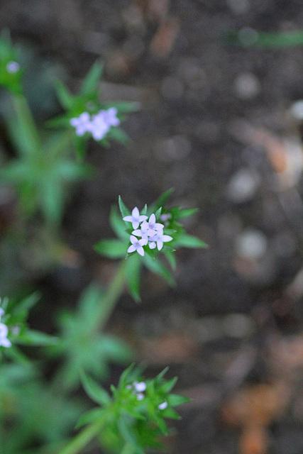 Sherardia arvensis (2)