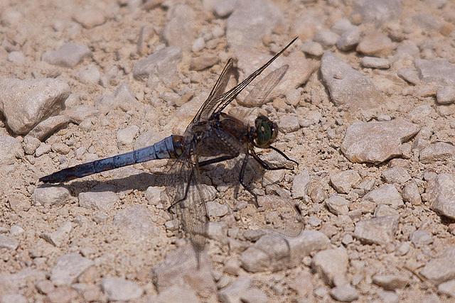 20110530 4378RTw [F] Großer Blaupfeil (Orthetrum cancellatum), Libelle, Parc Ornithologique [Camargue]