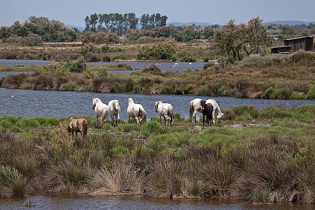 20110530 4373RTfw Camargue-Pferd [Camargue]
