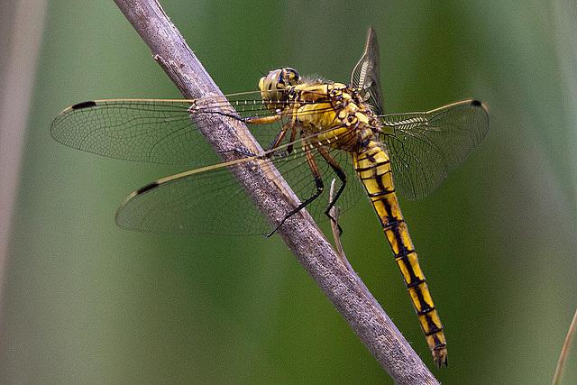 20110530 4369RTw [F] Libelle, Parc Ornithologique [Camargue]
