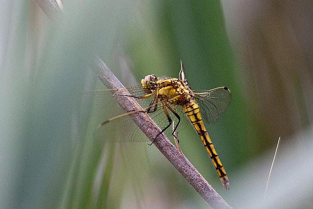 20110530 4368RTw [F] Libelle, Parc Ornithologique [Camargue]
