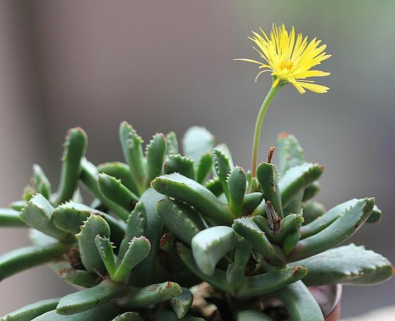 Carruanthus caninus = Bergeranthus caninum (ringens) 10781728.5d5cdb96.560