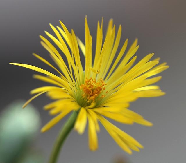 Fleur de Carruanthus caninus