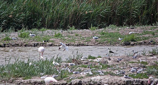 20110530 4363RTw [F] Flamingo (Phoenicopterus ruber), Stelzenläufer (Himantopus himantopus), Lachmöwen (Larus ridibundus), Zwergseeschwalbe (Stemula albifrons), Parc Ornithologique,   [Camargue]