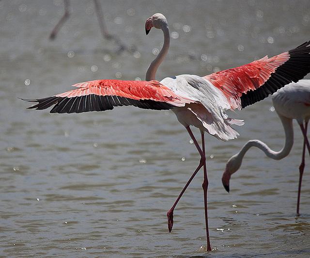 20110530 4358RTw [F] Rosaflamingo, Parc Ornithologique [Camargue]