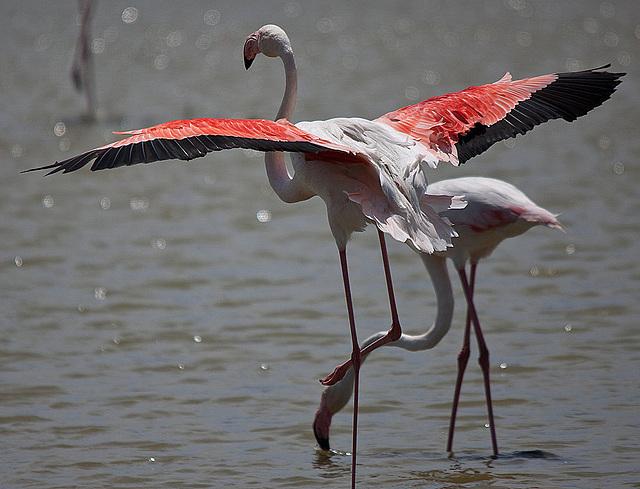 20110530 4357RTw [F] Rosaflaming, Parc Ornithologique [Camargue]