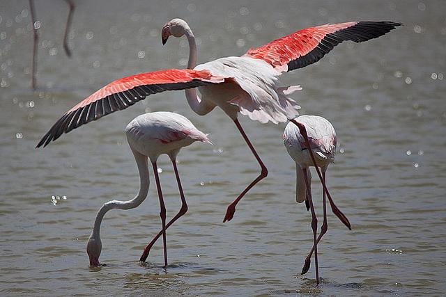 20110530 4355RTw [F] Flamingo [Camargue]
