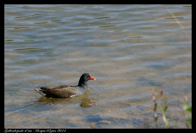 Poule d'eau DSC09719