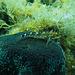 Dreiflossenschleimfisch
