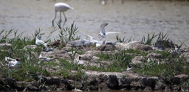 20110530 4348RTw [F] Lachmöwe, Zwergseeschwalbe, Rosaflamingo, Parc Ornithologique [Camargue]