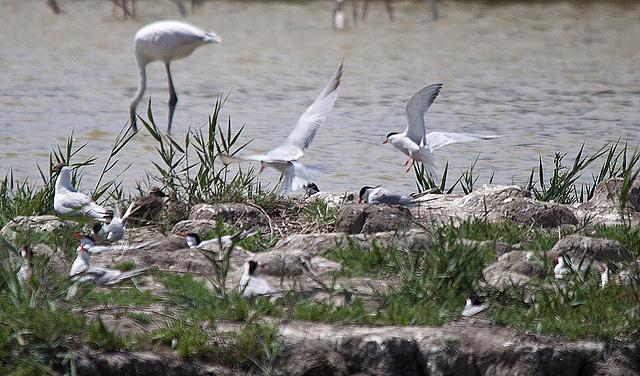 20110530 4347RTw [F] Lachmöwe, Zwergseeschwalbe, Rosaflamingo, Parc Ornithologique [Camargue]