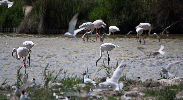 20110530 4346RTw [F] Flamingo, Lachmöwe [Camargue]