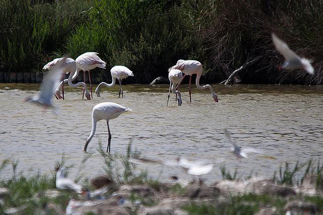20110530 4344RTw [R~F] Flamingo (Phoenicopterus ruber), Parc Ornithologique,   [Camargue]