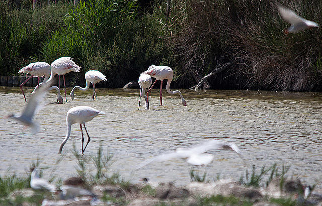 20110530 4343RTw [R~F] Flamingo (Phoenicopterus ruber), Parc Ornithologique,   [Camargue]