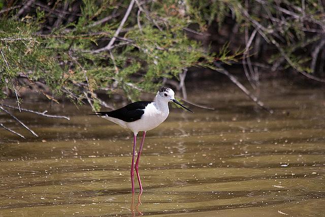 20110530 4341RTw [F] Stelzenläufer (Himantopus himantopus), Parc Ornithologique, [Camargue]