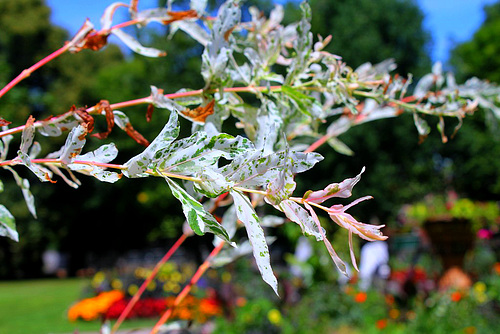 salix integra cultivar
