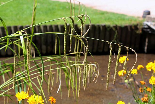 Carex pendula (2)