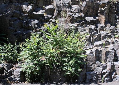 Ailanthus altissima - ailante glanduleux 10992009.4cd7b823.500
