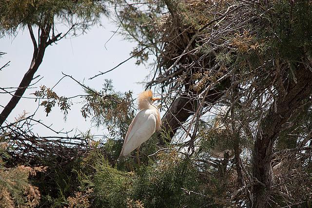 20110530 4334RTw [F] Kuhreiher, Parc Ornithologique [Camargue]