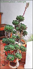 """Echeveria glauca """"Rosa de Santa Maria"""""""