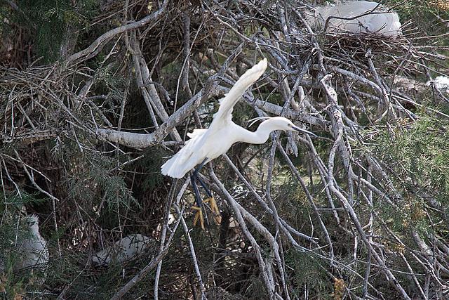 20110530 4329RTw [F] Seidenreiher, Parc Ornithologique [Camargue]