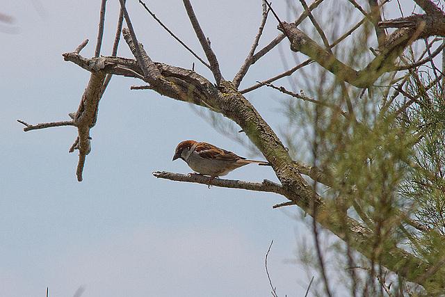 20110530 4321RTw [F] Haussperling, Parc Ornithologique [Camargue]