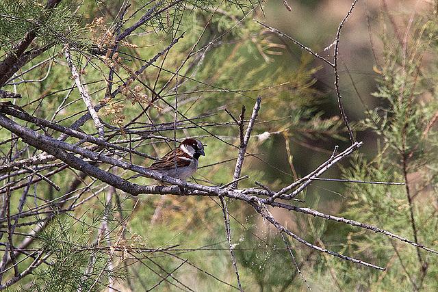 20110530 4320RTw [F] Haussperling, Parc Ornithologique [Camargue]