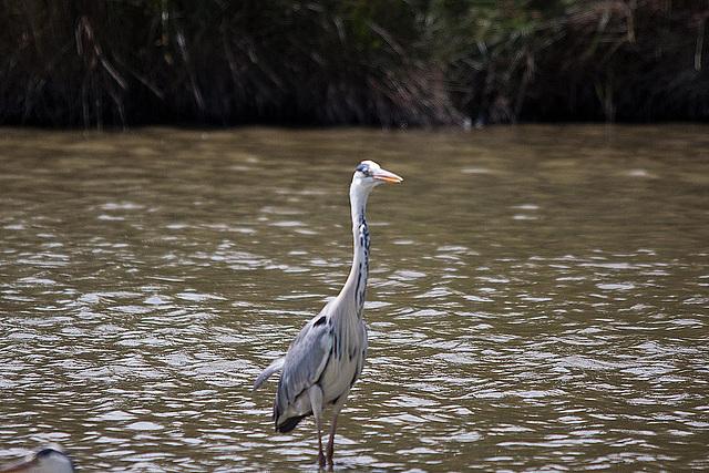 20110530 4318RTw [F] Graureiher, Parc Ornithologique [Camargue]
