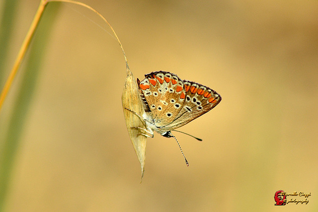 Butterfly   -  Aricia agestis  (on explore)